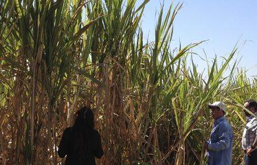 Sukkersektor Mexico Case-top
